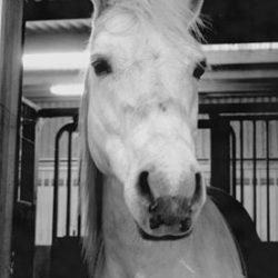 sarahs hestemassage hvid hest